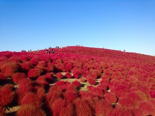コキアの紅葉に会いにひたちなか海浜公園へ行ってみた!コキアの見頃はいつ?